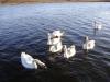 Псков. Лебединая семья на озере Городецкое